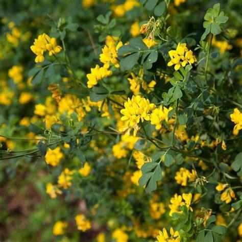 Buisson Fleur Jaune by Fleurs Jaunes Buisson