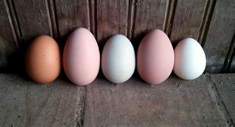 a rainbow of egg colors a rainbow of egg colors what breed of chicken lays which
