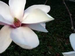 Mukena Bunga Tanjung 5 manfaat bunga tanjung tutorial dan informasi