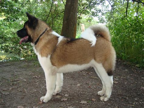 american dogs american akita on 35 pins