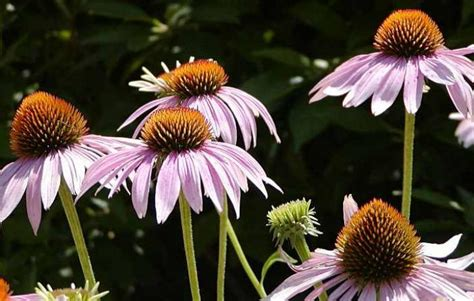 coneflowers how to plant grow and care for coneflowers