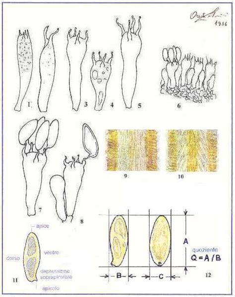 tavola dei caratteri tavole di morfologia dei caratteri microscopici