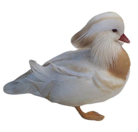 The White Mandarin white mandarin ducks for sale buy white mandarin ducks