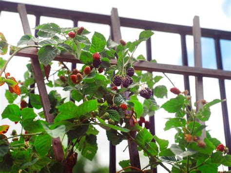 Backyard Berry Plants by How To Grow Your Own Berries Hgtv