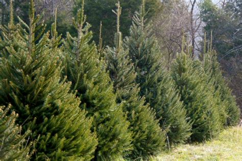 christmas trees for sale in st cloud and central minnesota