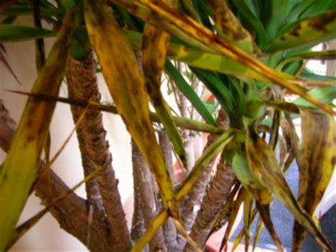 Yucca Palme Krankheiten 4812 by Kranke Yucca Was Kann Ich Tun Pflanzenkrankheiten