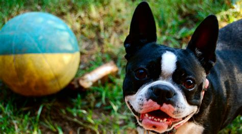 boston terrier puppies seattle quiz how well do you boston terriers rover