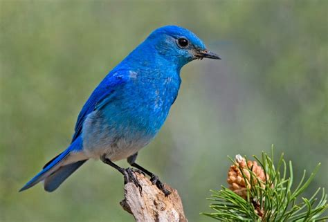 state birds idaho state bird mountain bluebird