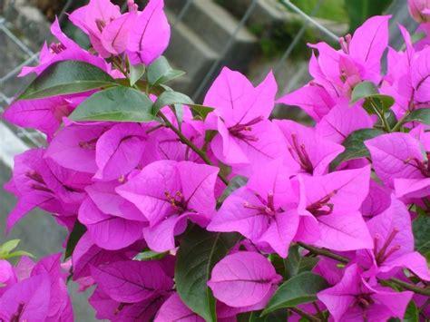 wallpaper bunga bougenvile bunga bougenville khasiat