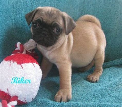 pugs arkansas the 25 best pug puppies for sale ideas on pugs pug puppies and baby pugs