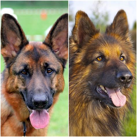 haired german shepherd haired german shepherd vs haired comparison differences similarities