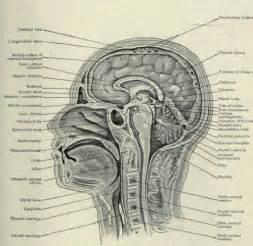 cross section human anatomy human anatomy chart