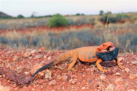 how to stop being light headed lizards and the language of colour change scientific