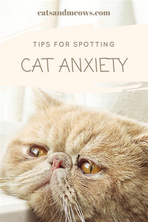 tips for spotting feline anxiety in multiple cat households cats and meows