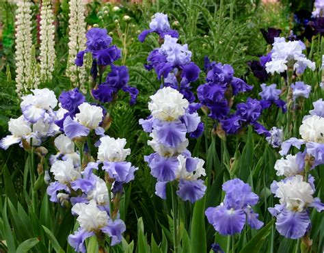 Iris Flower Garden World Of Irises Quot Talking Irises Quot The Blue Iris Garden Planting A Monochromatic Bearded