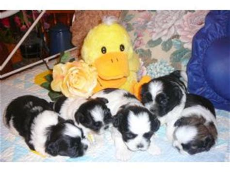 shih tzu puppies for sale in ri shih poo puppies for sale in central illinois