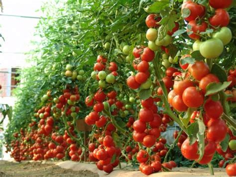tomato tree 30 best images about wts tomato trees on pinterest