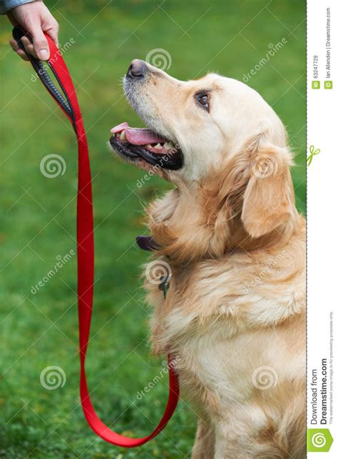 golden retriever obedience obedience golden retrievers