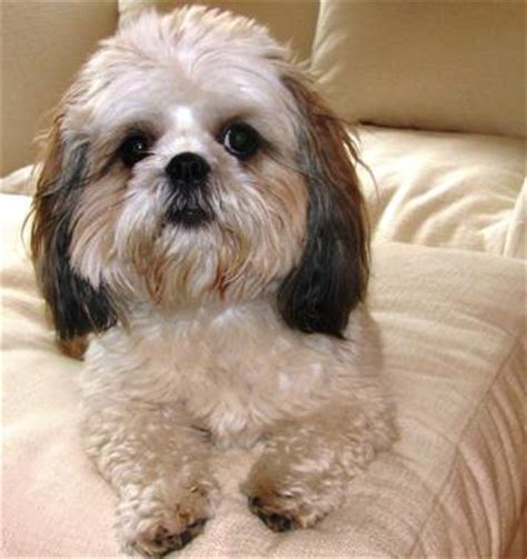 oldest living shih tzu breed profile canine chat tales and other stories