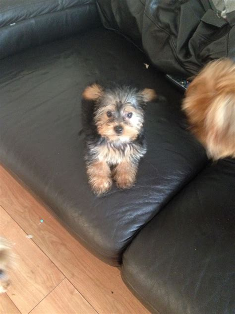 fluffy yorkie fluffy yorkie for sale birmingham west midlands pets4homes