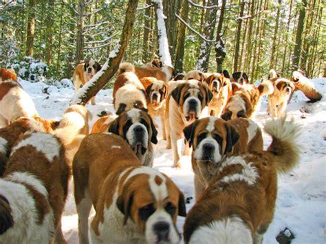 lasqueti island dogs out for a walk with 42 bernards taildom
