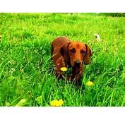 Razas De Perros Perro Salchicha Caracteristicas Y