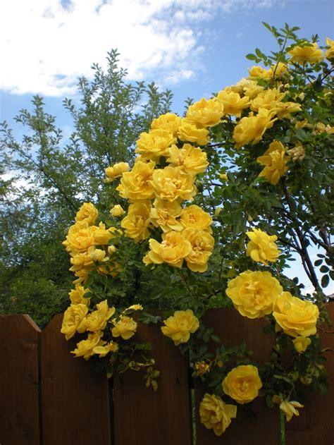 Climbing Yellow yellow climbing at my house