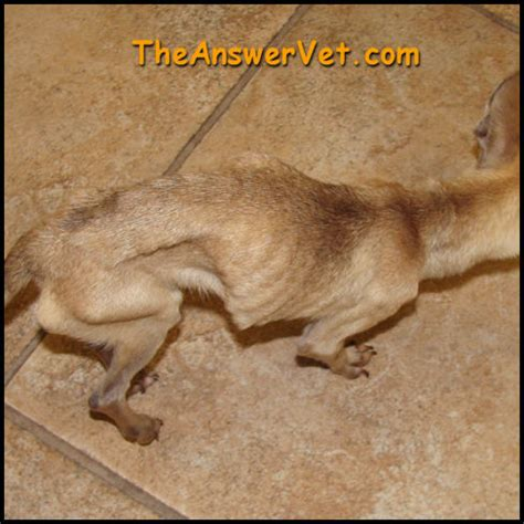 yorkie back leg limp web vet md dogs pets world