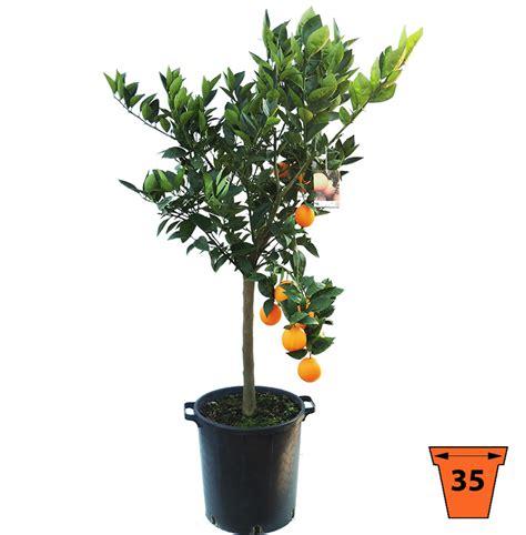 pianta di arancio in vaso pianta di arancio in vaso fabulous echinops ritro