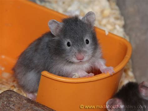 "This is a ""sable"" colored hamster   Adorable!   Kids and"