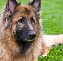 degenerative disc disease in dogs degenerative disc disease in dogs veterinary technology