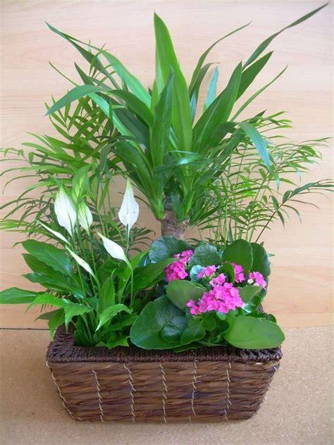 composizione di piante grasse in grande vaso tronchetto della felicit 224 come si cura foto 12 15