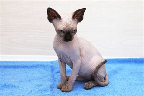 1000  ideas about Hairless Cats For Sale on Pinterest