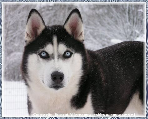 dogs like huskies what breed looks more like a wolf to you poll results wolves fanpop