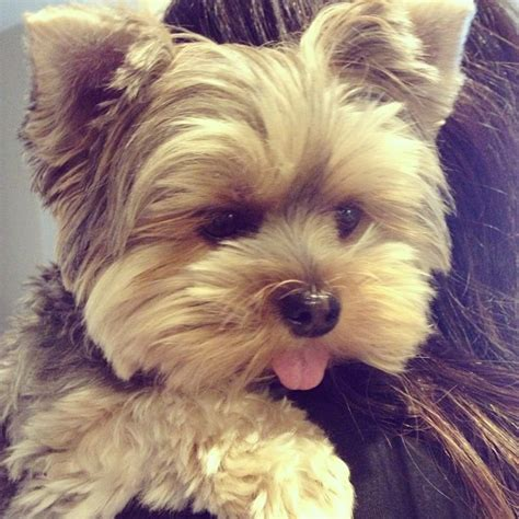 why is my yorkie so big 163 best images about yorkies and photos on westminster