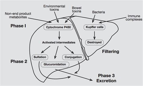 Detox Pathways Blocked by Liver Detox Diagram Images How To Guide And Refrence