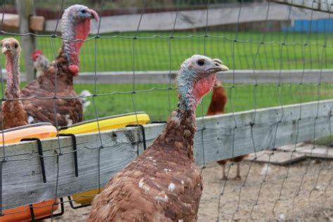 raising backyard turkeys how to raise turkeys hgtv