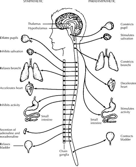 free coloring pages of nervous system