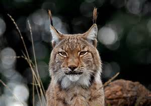 lynx gallery flickr
