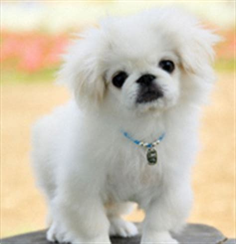 pekingese poodle lifespan pets hobbies dogs groups of dogs chihuahua