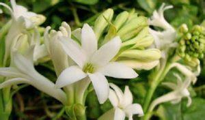 Biji Bunga Sedap Malam 10 cara menanam dan merawat bunga sedap malam