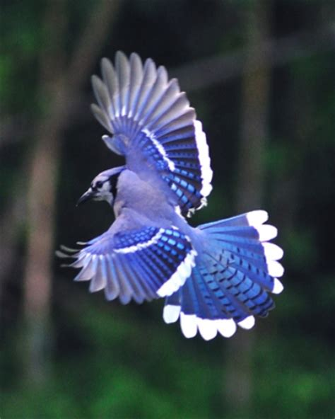 10 interesting blue jay facts my interesting facts