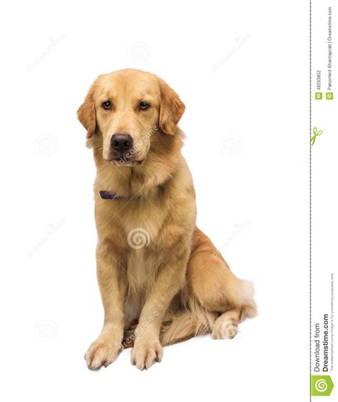large breed golden retriever large breed golden retriever stock photo image 48293852