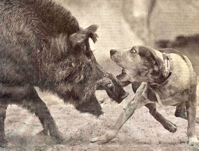 hogs and dogs a new american pastime hog fighting advocacy for animals