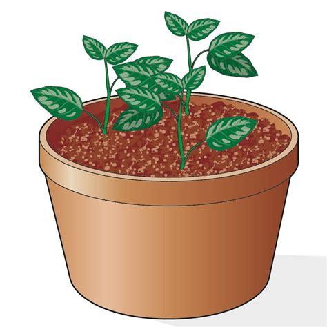 gardenia in vaso moltiplicare la gardenia in vaso cose di casa
