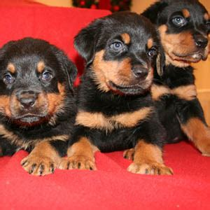 rottweiler puppies for sale island rottweiler puppies for sale on island