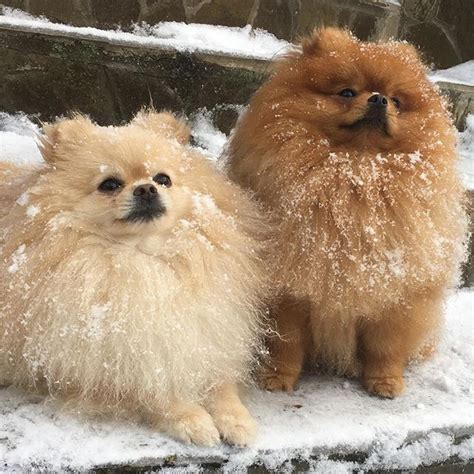 chion pomeranian breeders 1000 ideas about pomeranian mix on dogs for adoption dachshund mix and