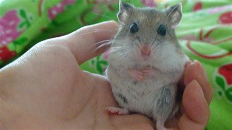 X Bamester Hamster S Better With Animals