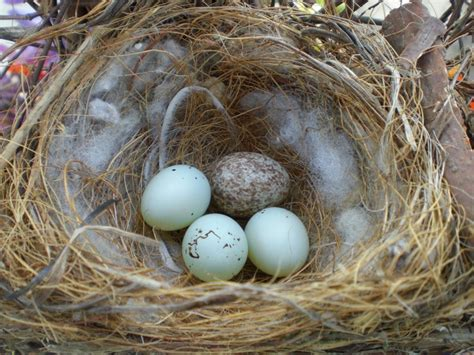 house finch nest 73 best images about house finch on pinterest old