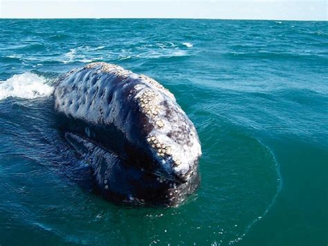13 best oregon coast whale watching images on pinterest